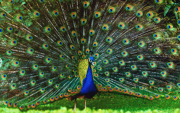 indian peafowl photos and - photo #14