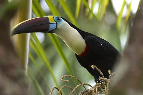 Toucan Sleeping Top 10 most rare rainforest birds Baby Toco Toucans