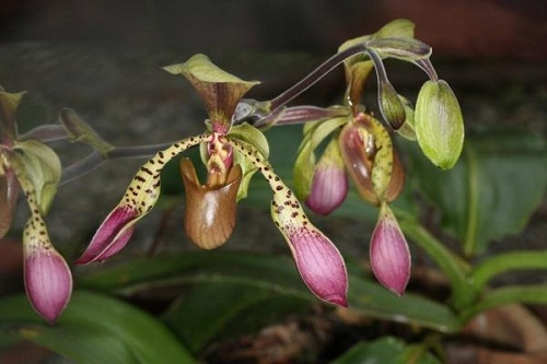 THE GOLD OF KINABALU ORCHID